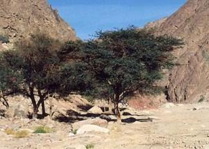 Di Balik Pohon Gharqad