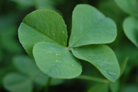 Four_Leaf_Clover_068